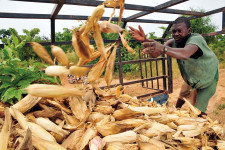 In Ghana small-scale maize farmers are provided with inputs and services by a major actor in the value chain © CIAT/N Palmer