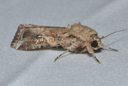 Armyworm moths are strong fliers enabling them to cross borders with ease. © Andy Reago & Chrissy McClarren/Flickr
