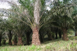 Plantation dédiée à l'huile de palme au Cameroun – Photo: Marco Schmidt/ Wikimedia Commons