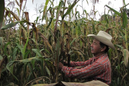 Felix Corzo Jimenez, a farmer in Chiapas, Mexico, examines one of his many maize plants infected with tar spot complex © Johnson/CIMMYT