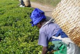 Une plantation de thé sur les hauts plateaux sud de la région d'Iringa en Tanzanie. © DR.