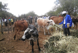Farmers in Zimbabwe's Gwanda district feed cattle with locally grown fodder made of dried velvet bean and vertiver grass in 2012. TRF/Busani Bafana