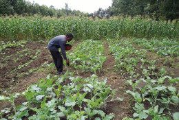 A Kenyan farmer using the fertilizer in his fields. © Safi Organics
