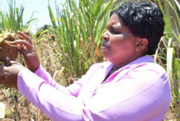Sabina Muriira at work in their one acre sunflower piece of land at Kinyoo, Imenti Central. © Peter Muthomi