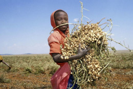 Harvesting peanuts © Panos