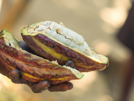 Madagascar's cocoa is ranked among the best in the world. © Menakao Madagascar Chocolate