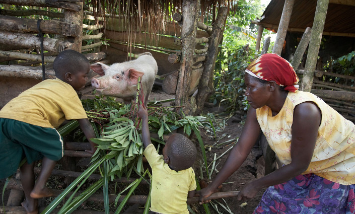 Across Africa, agri-entrepreneurs are reaping the returns from small-scale and low-cost pig production. © Sean Sprague/Alamy Stock Photo