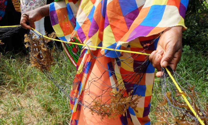 Women seaweed farmers in Zanzibar are using tubular fishing nets to farm high-value varieties © C Brugere