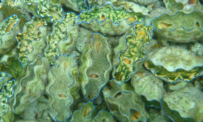 Indigo Seafood in Palau has trained local people to use sustainable methods to farm high value products such as giant clams © Indigo Seafood
