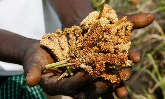 Millet returns to centre stage after being overlooked by the food industry © ICRAF/C Atia