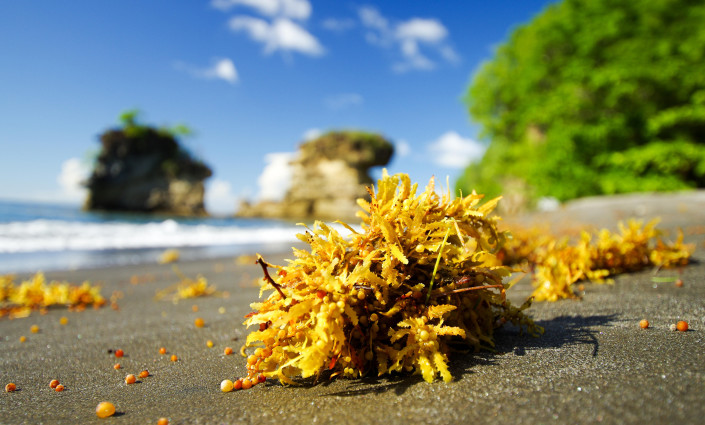A biotech company in St Lucia is transforming invasive <i>Sargassum</i> seaweed into an effective plant fertiliser © TravelMuse/Alamy Stock Photo
