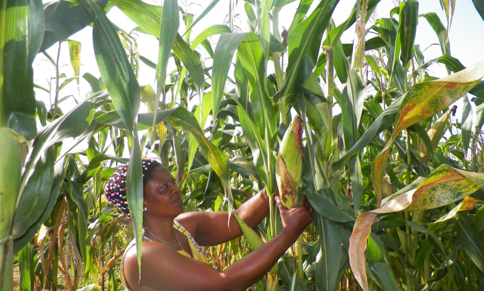 In Cameroon, over 8,000 cassava, maize and sorghum farmers are increasing their production to supply national food companies © Elias Ntungwe Ngalame