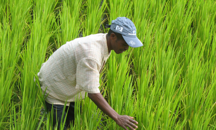 In the Madagascar highlands, the use of improved technologies has improved rice yields © Mamy Andriatiana