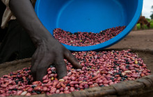 NAROBEANs in Uganda have become popular among consumers due to their fast-cooking, superior taste and climate resilient qualities. © Georgina Smith/CIAT