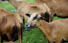 Small ruminants are an integral part of Caribbean agriculture © M Hansen