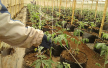 Tomato plants growing in a bamboo greenhouse in Nigeria © Oluyinka Alawode