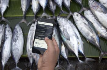Les pêcheurs utilisent la technologie blockchain pour améliorer la traçabilité de leur thon pêché à la ligne. © Provenance