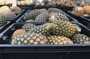 At Mukete Estates Limited, 8,260 t of pineapples have been produced during the first 9 months of 2017 © Sophie Reeve