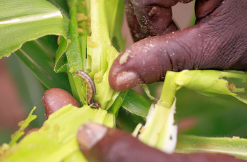140,000 African farmers have introduced push-pull technology to protect their crops from fall armyworms © CABI