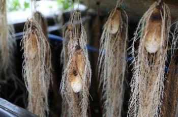 IITA is growing yam tubers using an aeroponics system © Oiwoja Odihi YIIFSWA-II/IITA