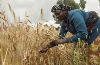 Des variétés améliorées d'orge brassicole améliorent les récoltes et les revenus des petits exploitants en Éthiopie. © ICARDA