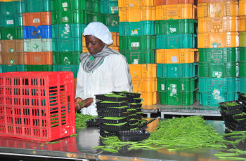 In Kenya, a digital cloud-based system is helping to reduce rejections of produce for international export, particularly for French beans and peas © Bob Koigi
