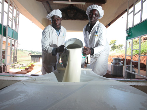 Clerks at a processing plant in Kenya pour milk through a cloth strainer © Russell Powell/Heifer International