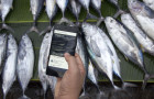 Fisherman are using blockchain technology to increase the traceability of their pole and line caught tuna © Provenance