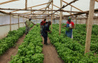 Farmers in Kenya are diversifying their production by growing profitable and fast-maturing herbal crops © Bob Koigi