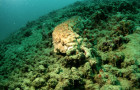 Sea cucumber is the Pacific's second most valuable marine export after tuna © Neil Cook | Environmental Research Institute Charlotteville