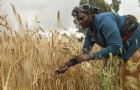 Improved varieties of malt barley improve the yields and incomes of smallholder farmers in Ethiopia © ICARDA