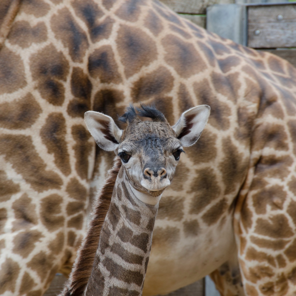 New baby giraffe at Houston Zoo