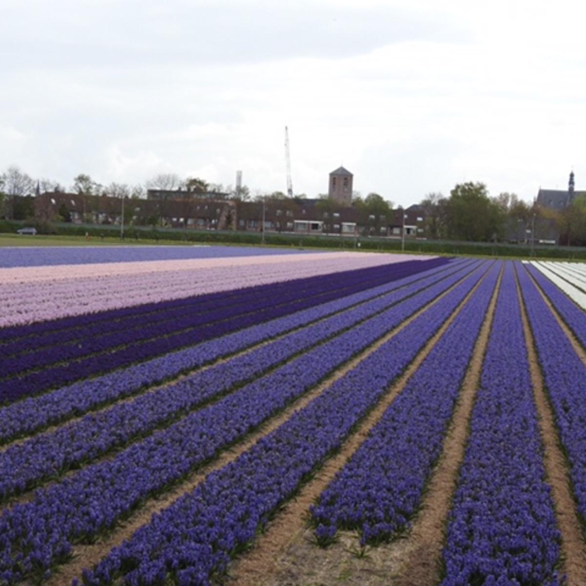 purple tulip fields