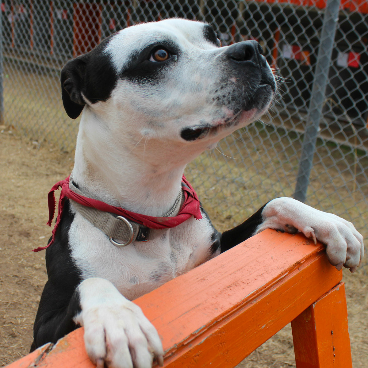 Brooke the bulldog APA! pet of the week playing fetch