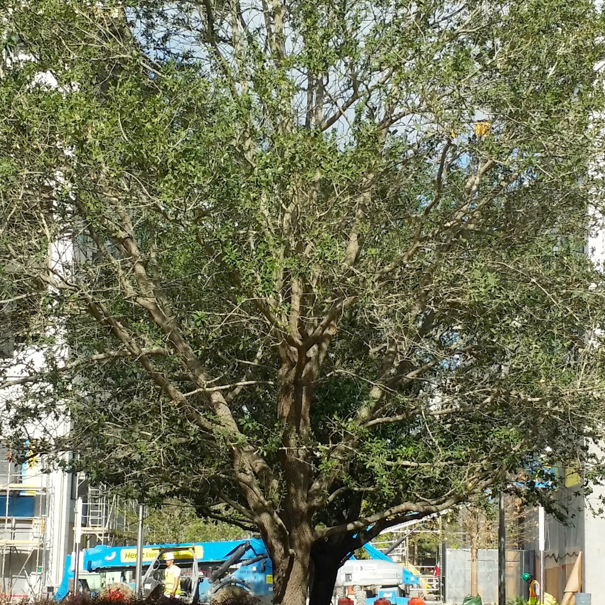 News, Shelby, River Oaks District trees, August 2015