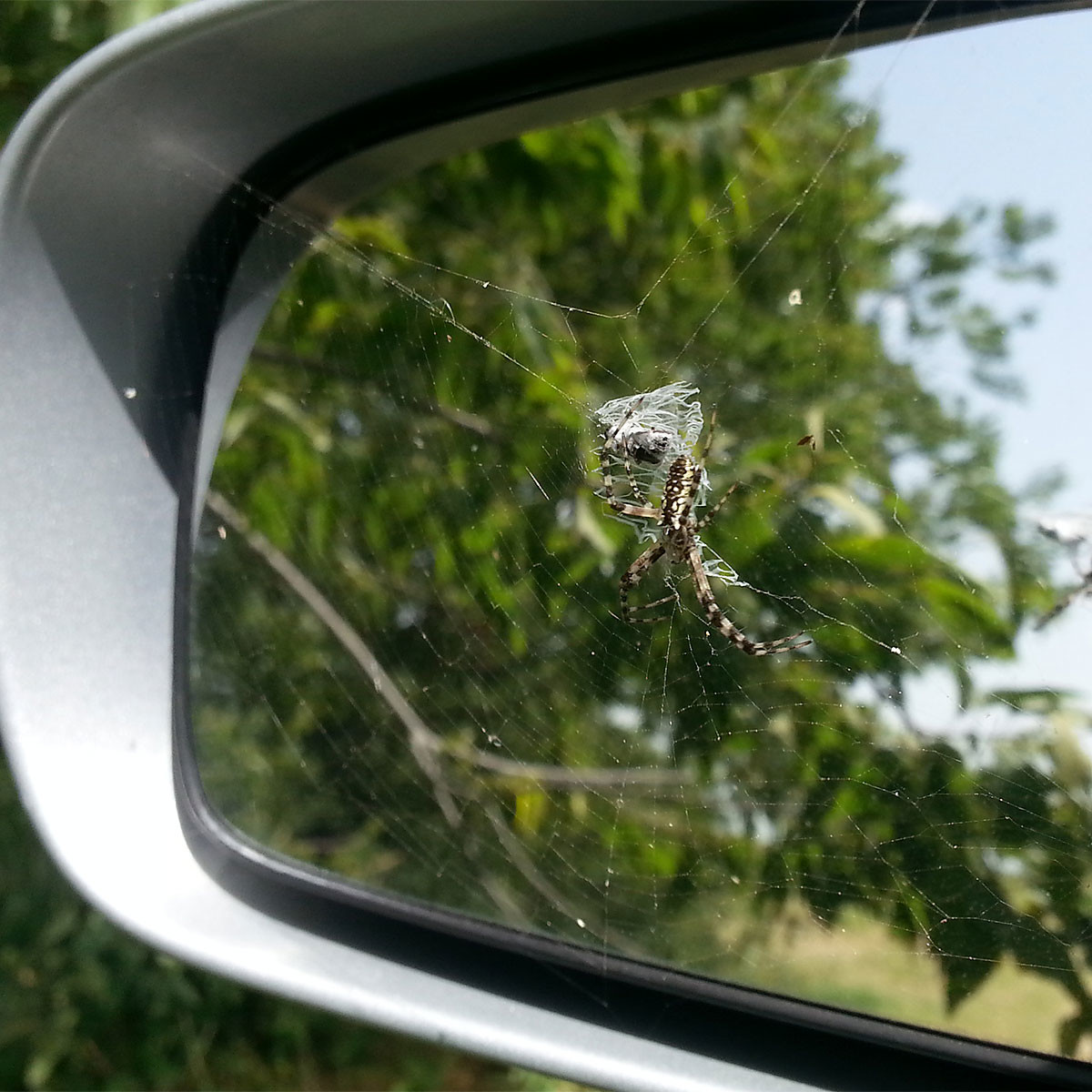 photo of garden spider of rear view mirror