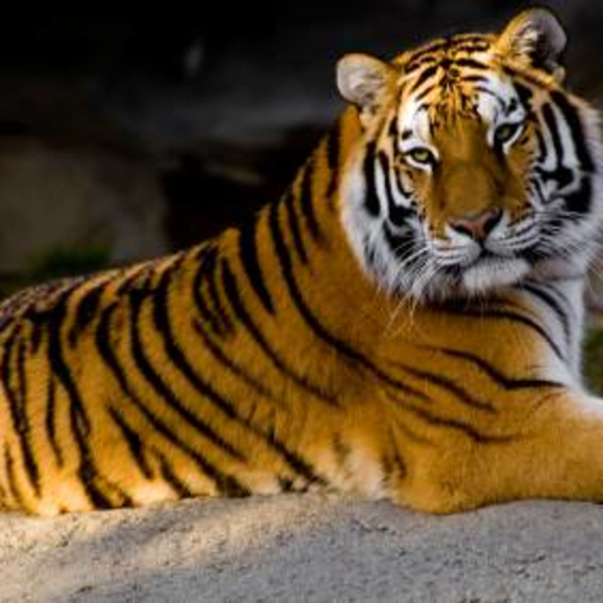 Austin_photo: places_outdoors_austin zoo_tiger