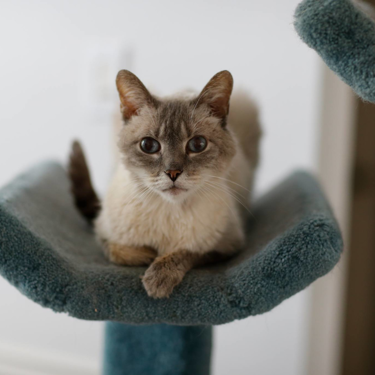 Leopold the Siamese cat of Austin Pets Alive! sitting