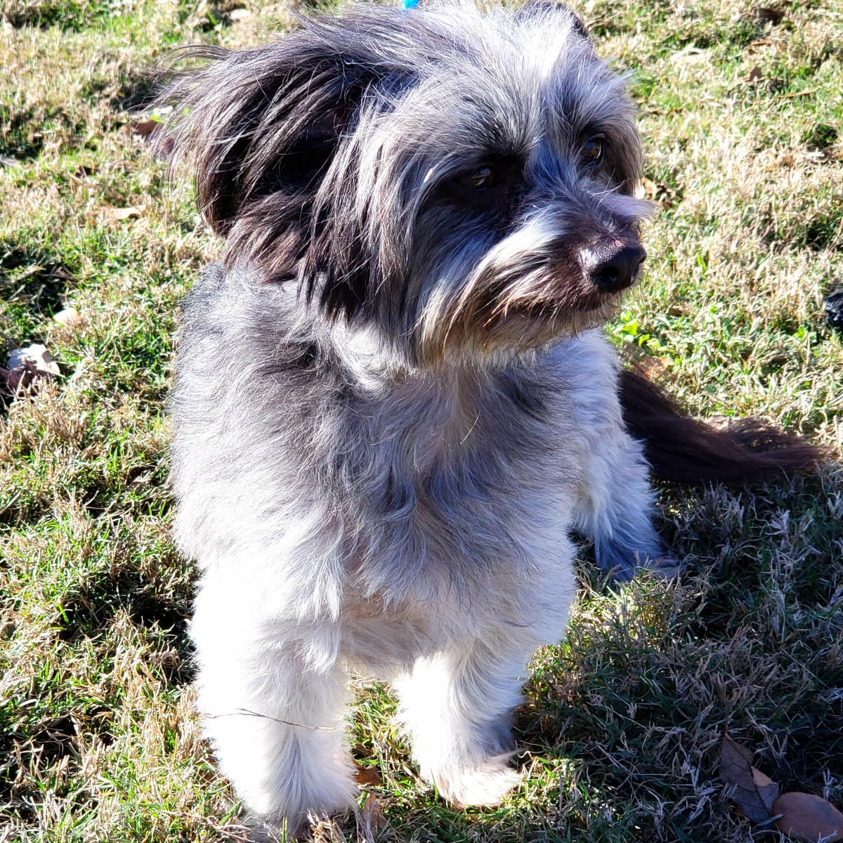 Pet of the Week - Kingston Maltese