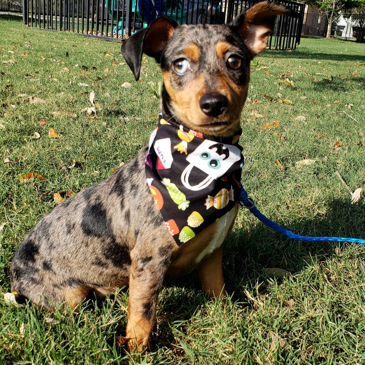 Pet of the week - Jenny dachshund mix