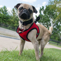 Johnny Steele Dog Park Allen Parkway pug