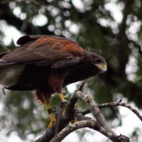 Fall Hawk Walk
