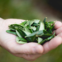 Special Leaf tea is made from an ancient recipe based on olive tree leaves