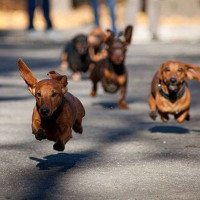 Dachshund races Krause's Cafe