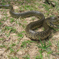 <i>Unplugged Adventure: Native Snakes </i>