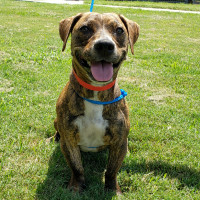 Pet of the week - Gigi Staffy mix