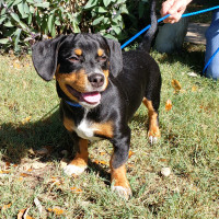 Pet of the week - Royce beagle puppy