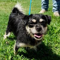 Pet of the week - Pepper terrier