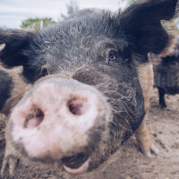The CTPR Pig Liberation Party 2019