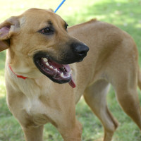 Pet of the week - Grace Rhodesian Ridgeback